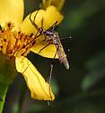 Elephant Mosquito - Toxorhynchites rutilus