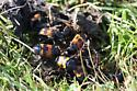 Orange&Black beetles on scat - Nicrophorus