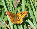 Friillary - Boloria