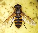 Life on an Apple, Syrphidae - Helophilus fasciatus - female