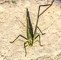 Katydid species ?? - Scudderia