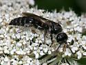 Tiphiid wasp - Tiphia