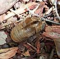 Diceroprocta vitripennis - Green Winged Cicada shell - Neotibicen