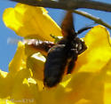 Large Bee with Brown Wings Feeding on San Padre Island TX - Xylocopa - female
