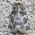 moth - Hemibryomima chryselectra