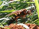 Wasp? at Deep Cut Gardens - Sphecius speciosus