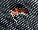 moth? - Galasa nigrinodis