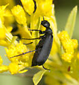 Solid black Blister beetle - Epicauta pennsylvanica