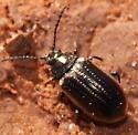Beetle ID - Microtheca ochroloma