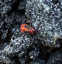 Unknown beetle or bug in VA - Boisea trivittata