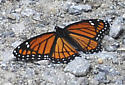 Viceroy - but which subspecies? - Limenitis archippus