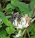 Sand Wasp - Dielis plumipes - female