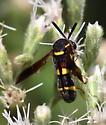 Leucospis affinis? - Leucospis affinis - female