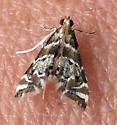 Petrophila - Petrophila fulicalis