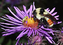 Tricolored Bumble Bee, lateral - Bombus ternarius