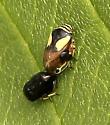 Plant/Tree Hopper? - Clastoptera proteus - male - female