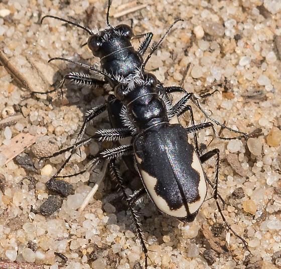 Festive Tiger Beetles? - Cicindela scutellaris