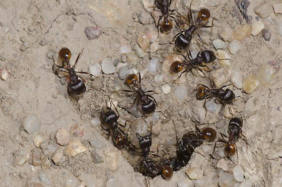 Rough Harvester Ants - Pogonomyrmex rugosus