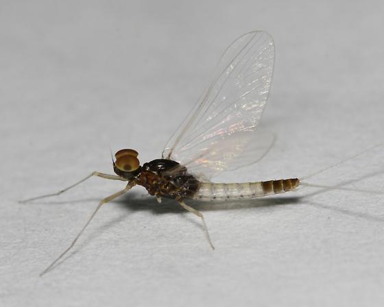Baetis intercalaris adult male - Baetis intercalaris - male