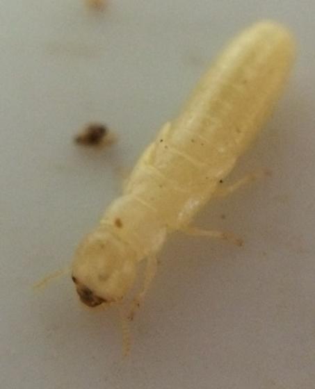 Cedar termites - Incisitermes snyderi
