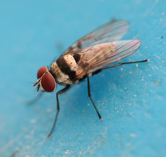 Fly - Anthomyia illocata