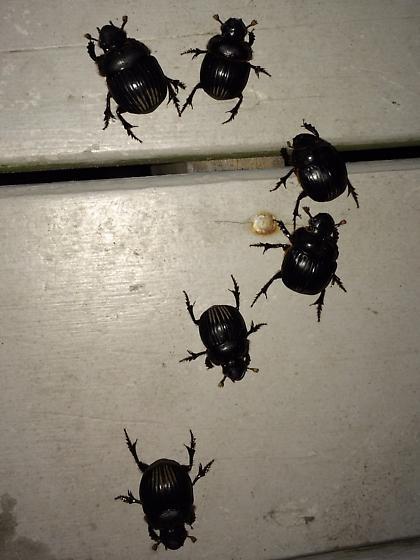 Dichotomius carolinus invasion! - Dichotomius carolinus