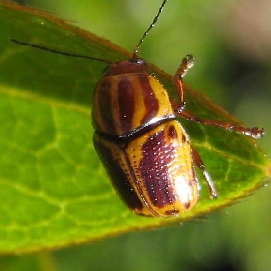 Leaf beetle - Cryptocephalus castaneus