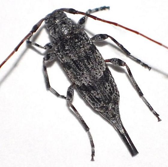 Acanthocinus  - Acanthocinus obliquus - female