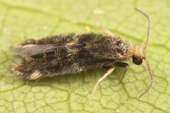 Microcaddisfly - Hydroptila callia