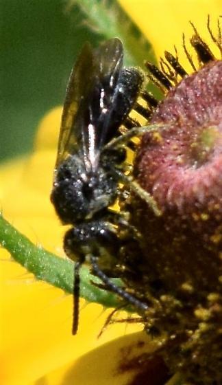 black bee - Sphecodes heraclei