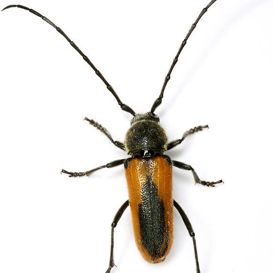 Crossidius pulchellus LeConte - Crossidius pulchellus