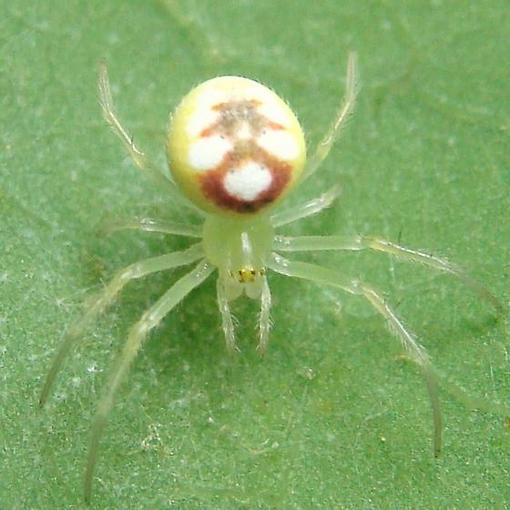 A. niveus? - Araneus niveus - female