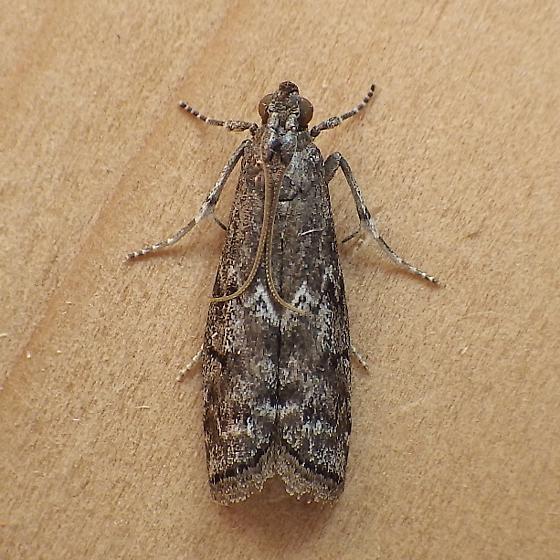 Pyralidae: Vitula? - Canarsia ulmiarrosorella