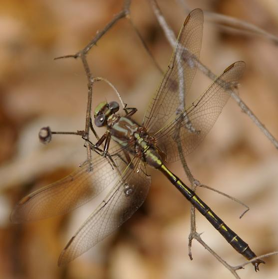 Clubtail? - Phanogomphus lividus