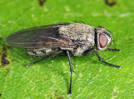 Cluster Fly - Pollenia labialis - female