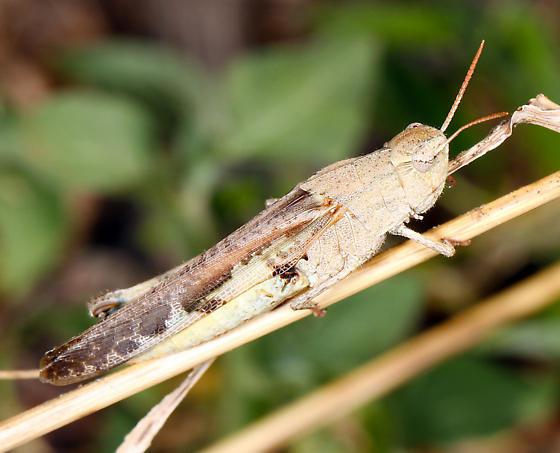 Acrididae - Chortophaga viridifasciata
