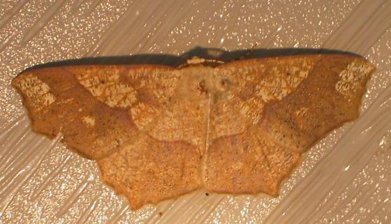 Moth - Besma quercivoraria