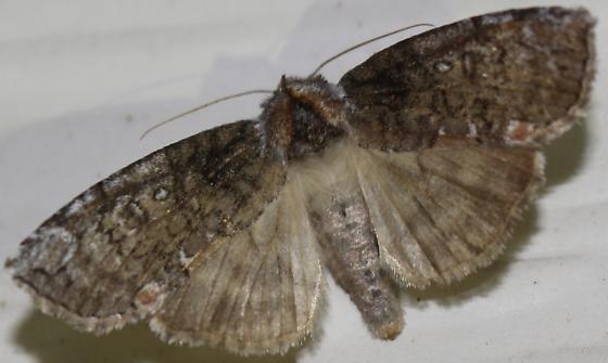 Dogwood Thyatirid pennsylvanica form - Hodges#6240 - Euthyatira pudens
