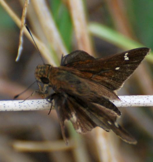 Skipper species ? - Lerema accius - male