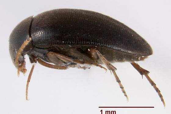 Eucinetus strigosus