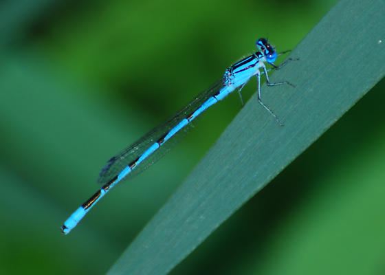Blue Damselfly - Enallagma durum - male