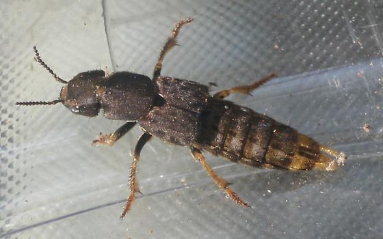 HUGE rove beetle - Platydracus maculosus