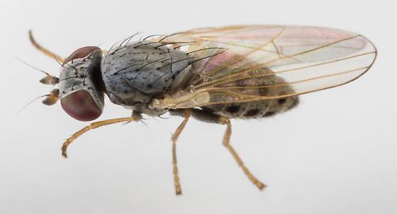 Fly - Chamaemyia