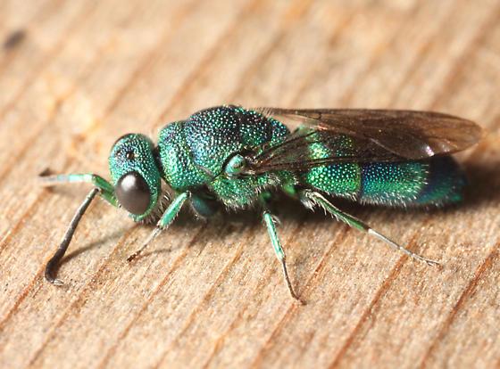 Cuckoo Wasp - Chrysis