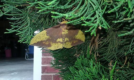 What kind of moth is this? - Eacles imperialis
