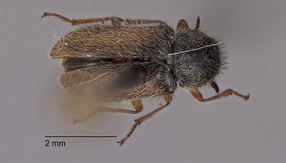 Melyridae ID request - Cradytes serricollis
