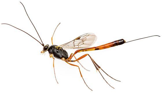 Female, ichneumon wasp - female