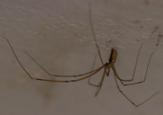 ? Longbodied Cellar Spider - Pholcus phalangioides - Holocnemus pluchei