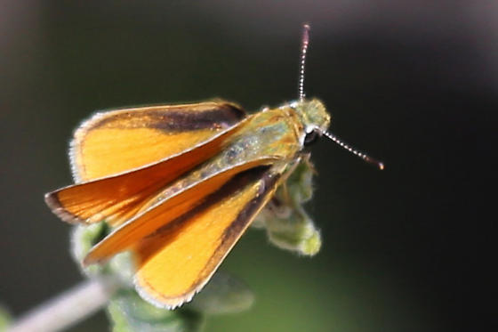 Butterfly - Copaeodes
