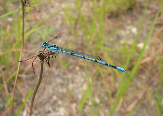 Atlantic bluet, Enallagma doubledayi? - Enallagma doubledayi - male
